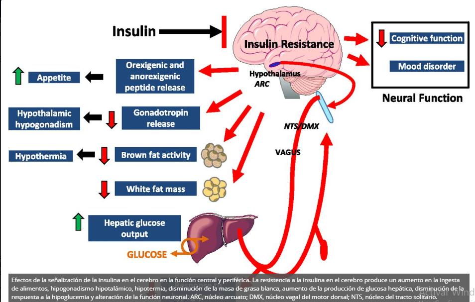 Función de grelina en la liberación de insulina y el metabolismo de la glucosa y la diabetes.